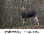 female elk. portrait of a...   Shutterstock . vector #471035453