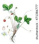 wild strawberry. botanical... | Shutterstock . vector #471386777