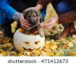 Puppy In Pumpkins For Hallowee...