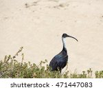 Majestic Straw Necked Ibis ...