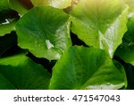 Water Lily Leaf Background