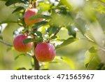red apples in a garden | Shutterstock . vector #471565967