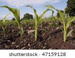 Corn Seedlings Crop Field