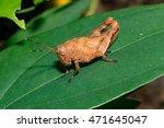 giant grasshopper grasshopper ... | Shutterstock . vector #471645047