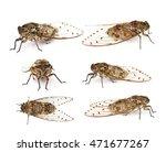 Cicada Isolated On White...