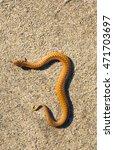 Small photo of Adder (Vipera Berus) basking on sun on sandy road. Dangerous snake.