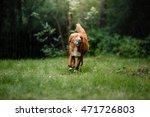 Dog Nova Scotia Duck Tolling...