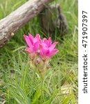 kra jiao flower  siam tulip   ... | Shutterstock . vector #471907397