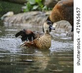 Wandering Whistling Duck Chick...