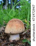 Small photo of Amanita rubescens, or Blusher in natural habitat, delicious edible mushroom, but toxic in raw condition