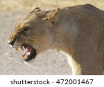 Adult Lioness Snarling With...
