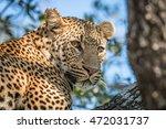 a leopard looking back in a... | Shutterstock . vector #472031737