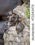 Small photo of Crested (Aethia cristatella) and Least Auklets (Aethia pusilla) St. George Island, Alaska, USA