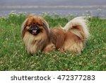 Dog Breed Pekingese On A Green...
