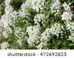 White Alyssum  Fragrant Flower...