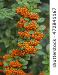 Pyracantha Firethorn Orange...