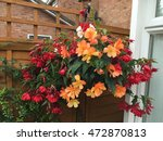 Beautiful Begonia Flowers In A...