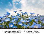 Blue Nemophila At Hitachi...