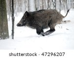running wild boar - stock photo
