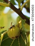 wasp eats ripe fig fruit  | Shutterstock . vector #473044003