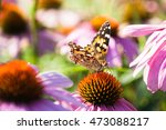 Painted Lady Butterfly On A...