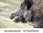 Wild Boar Portrait