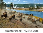 A Herd Of Bison Moves Quickly...