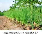Small photo of a selective focus picture of onions bulbil at agriculture farm in Thailand