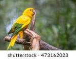golden conure parrot  guaruba... | Shutterstock . vector #473162023
