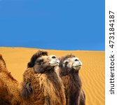 Small photo of Bactrian camels on a sand dunes background. Gobi Desert. The camels are exceptionally adept at withstanding wide variations in temperature from cold to searing heat. Amazing image.