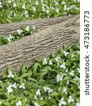 Small photo of Trillium (Large-flowered Trillium, Trillium grandiflorum) blooms in a forest around fallen tree trunks in Door County, Wisconsin
