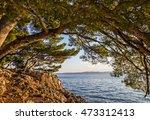 Pine Seaside Of Adriatic Sea ...
