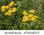 yellow flowers of helichrysum... | Shutterstock . vector #473318227