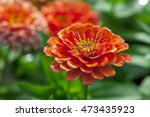 Close Up Of Red Chrysanthemums...