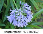 """Small photo of Blue """"African Lily"""" flower (or Lily of the Nile) in St. Gallen, Switzerland. Its Latin name is Agapanthus Africanus (Syn Agapanthus Umbellatus), native to South Africa."""
