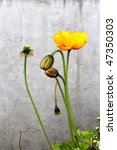 Icelandic Poppy And Buds On...
