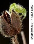 Small photo of Hairy crab spider Heriaeus sp. (Thomisidae) on black background, close up