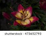 lilium summer garden sentiment... | Shutterstock . vector #473652793