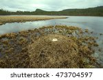 Huge Nest Of Whooper Swan ...