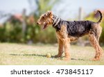 Airedale Terrier Dog Playing...