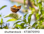 Rusty Tipped Page Butterfly On...