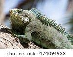Green Iguana Lizard  Tropical...