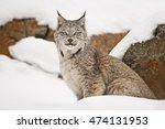 Lynx Is Looking Aside. Lynx Is...