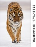 Amur Tiger Is Walking Angrily....