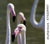 Small photo of Camargue: pink flamingos near Saintes-Maries-de-la-Mer, France