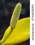 Small photo of Yellow Skunk Cabbage, American skunkcabbage, American skunk (Lysichiton americanus)