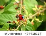 Small photo of Beautiful Male of Crimson Sunbird (Aethopyga siparaja)