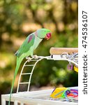 Small photo of Beautiful Alexandrine Parakeet. Parrot on a bird cage