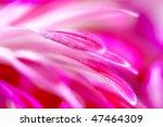Beautiful Pink Chrysanthemum...