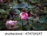 lotus flower in pond | Shutterstock . vector #474734197